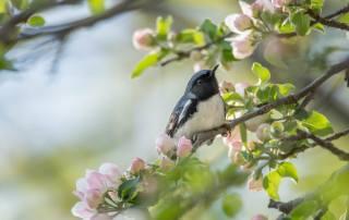 nature, spring, branches, flowering, bird