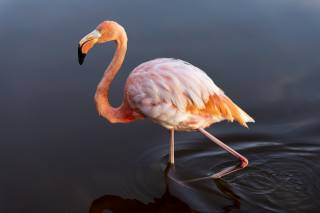 Flamingo, pink, water, background