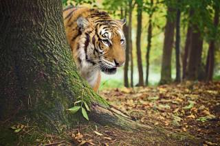 tiger, forest, autumn, photomanipulation