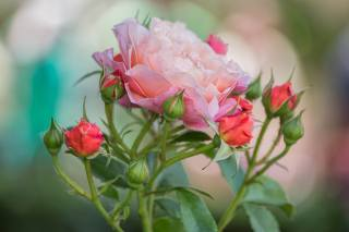nature, flower, rose, buds, bokeh