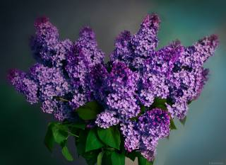 lilac, spring, bouquet