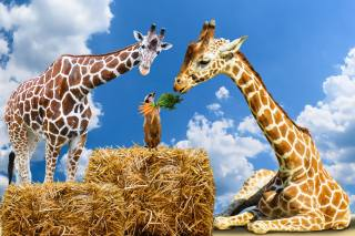 giraffes, meerkat, carrots, straw, the sky, photomanipulation