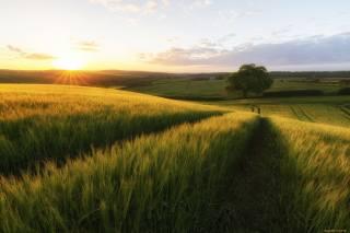 field, greens