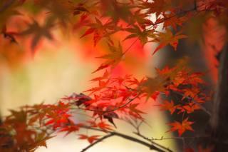 autumn, tree, Maple, Japanese maple, branch, leaves