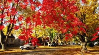 trees, leaves, red, Maple, street, the city