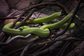 змея, рептилия, животные