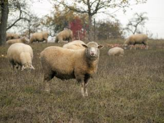 трава, овцы, пастбище