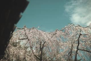 the sky, Sakura, flowering