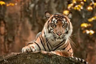 тигр, камень, природа, Животное, осень
