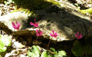 розовые, цветы, камни