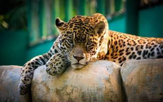 animals, Jaguar
