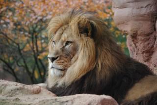 lion, animals, muzzle