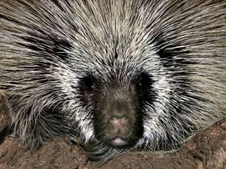 animals, porcupine