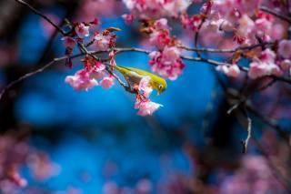 nature, spring, flowering, cherry, Sakura, branches, bird, birds of the world, белый глаз, the sky, blue