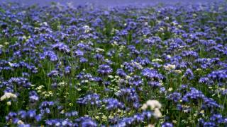 meadow, Phacelia, flowers