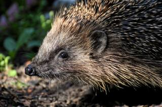 the hedgehog, needles