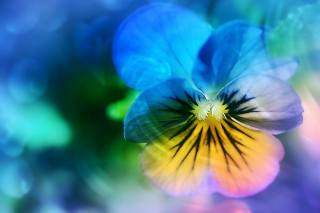 plant, Pansy, yellow, petal, purple, flower, blue