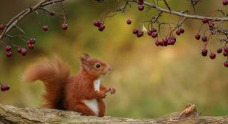 Animal, animal, rodent, Squirrel, nature, autumn, log, branches, berries