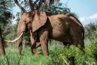 elephant, wildlife, африканский слон, Africa, Elephantidae, Savannah