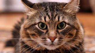 cat, view, eyes, the nose, ears