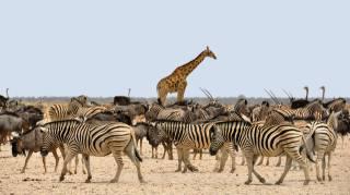 зебра, у GNU, жираф, Африка, Намібія