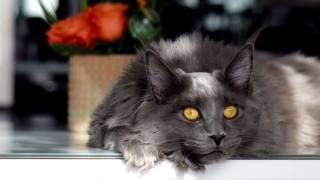 Maine Coon, grey, view