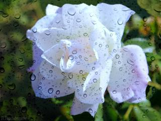the rain, glass, drops, background, flower, rose