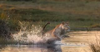 животные, кошка, брызги, прыжок, лев