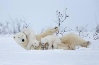 зима, снег, игра, медвежата, Белые медведи, Медведица, материнство, полярные медведи