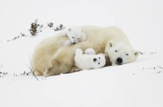 белый медведь, детеныш, милый, пушистый