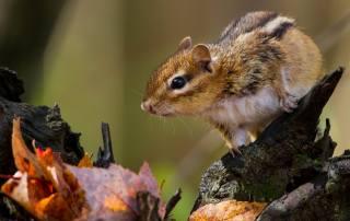 Животное, грызун, зверек, Бурундук, природа, осень, листья, коряга