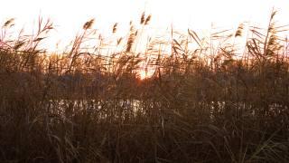 reed, sunset, the lake
