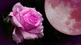 night, the moon, rose, drops