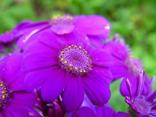 fialové, květiny, makro, okvětní lístky, jaro