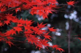 Maple, branches, leaves, autumn