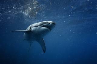 žralok, modré moře, dravec