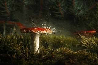 mushroom, nature, forest, the rain, morning, macro, moss, spruce