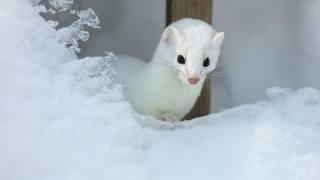 bílá, sníh, zvířata, lasička