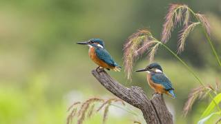 ptáci světa, зимородки, mláďata, PÁR, příroda, коряга, tráva