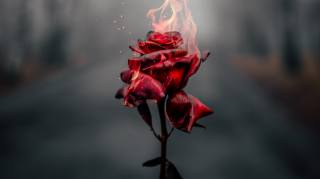 rose, Flame, Red, flower