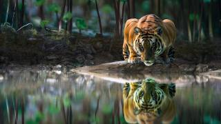 tiger, water, big cat