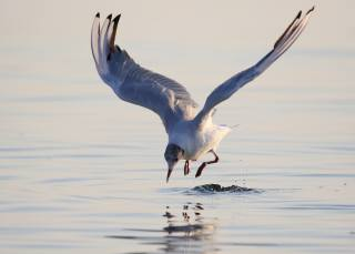 Seagull, bird, water