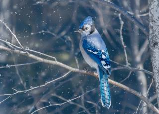 blue, Jay, bird, winter, snow, branch