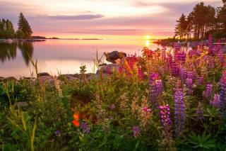 summer, grass, trees, landscape, flowers, nature, the lake, stones, dawn, morning, the shore, lupines