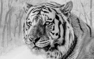 тигр, морда, хищник, чб, дикая природа