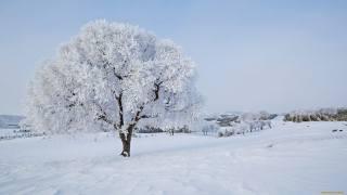 дерево, иней, снег
