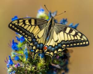motýl, zblízka, Papilio machaon