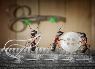 Tři, муравья, пришивают, пуговицу