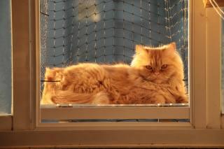 кішка, вікно