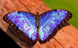 blue, butterfly, closeup, insect